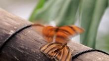 Beautiful Butterflies Trying To Mate Macro Footage