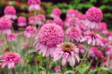 Pink Echinacea Purpurea 'Razzamatazz'  Coneflower In Bloom In The Summer Months