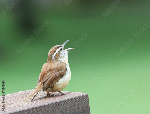 Photo Carolina wren singing from deck railing