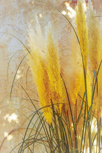 Yellow Grasses With Green Spik...