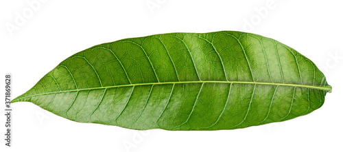 Foto Mango leaf isolated on white background, clipping path, full depth of field