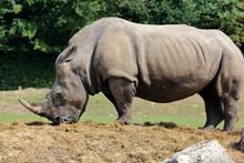 Grandeur D'un Rhino