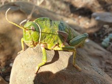 Large Green Locust On Top Of A...