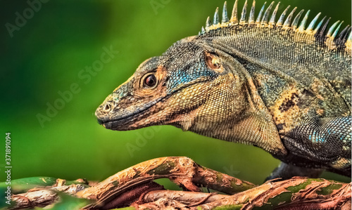 Close-up of a striped iguana with copy space and blurred background, Iguana Stri Fototapete