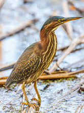 A Juvenile Green Heron Fishing For Lunch.