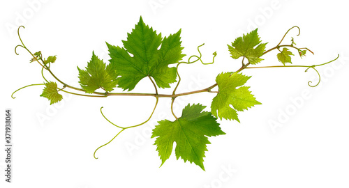 Valokuva Small branch of grape vine on white background
