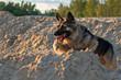 Flying german shepherd on the beach