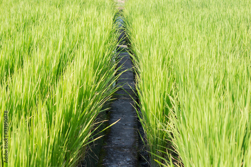 Fotografía 稲の間の畦道(あぜみち)
