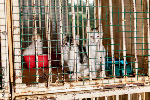 Fotografie, Tablou Kittens look through the bars of the animal shelter, they look very unhappy