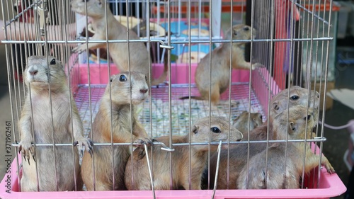 Photo Unhappy cute prairie dog cub suffering, cage on market