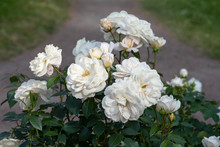 A Cluster Of White Roses On The Green Lawn By The Path