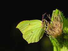 Yellow Butterfly (gonepteryx R...