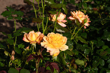 Bush Of Beautiful Sunlit Yellow Roses In The Garden Close Up