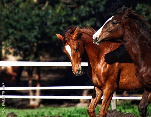 Fototapeta Chestnut filly and bay colt playing in field