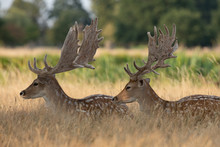 Two Male Fallow Deer Cooling Down In The Shade On A Warm Day