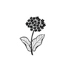 Hand Drawn Illustration In Retro Vintage Style. Milkweed Plant.