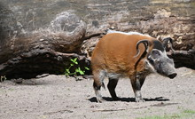 A Red River Hog  Walking On Th...