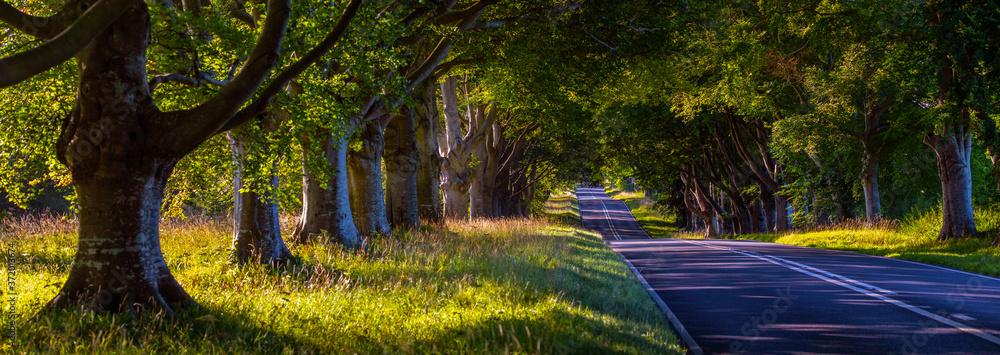Fototapeta Beech Tree Avenue Near Wimborne in Dorset