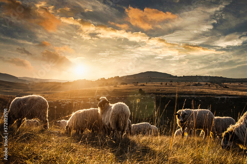 Photographie sheep in the field, sheeps, sheeps on nature, nature, sheep