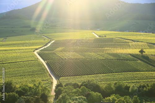 Fotografering Vineyard near Ilbesheim in the Pfalz, Germany