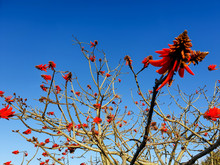 Image Of A Erythrina Lysistemon Hutch Also Called Lucky Bean Tree Or Common Coral Tree Is A Small To Medium-sized, Deciduous Tree With A Spreading Crown With Red Flowers.