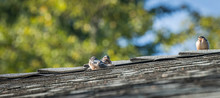 Three Young Barn Swallows Perched On A Roof