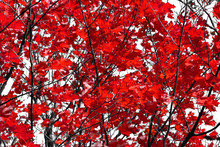 Red Tree Leaves On Black Branches Contrast Against The White Sky Background