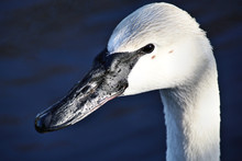 A View Of A Trumpeter Swan