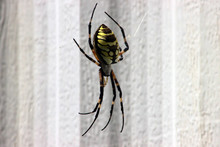Yellow And Black Garden Writing Spider