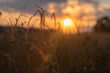 Tall Grass At Sunset - Summer ...