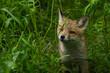 młody lis w trawie