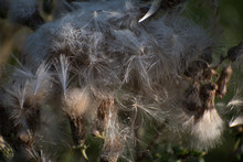 Thistle Seeds Blowing About  I...