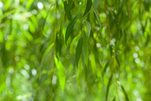 Willow Leaves In The Garden