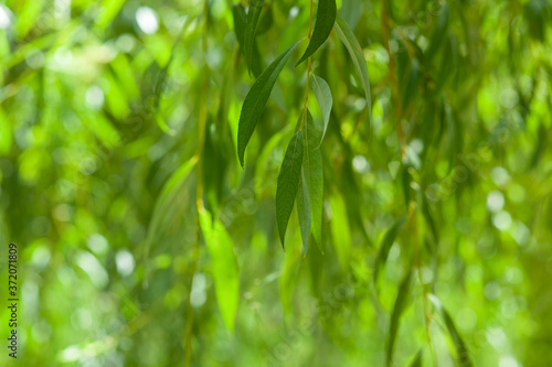Photo willow leaves in the garden