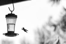 Humming Bird Visits Nectar Fee...