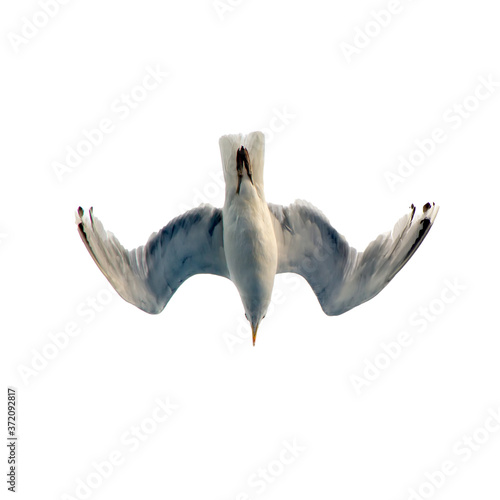 Foto Sea gull flies in the sky. Isolated image on a white background.