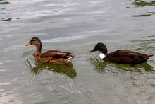 Close Up Isolated Image Of Two Dabbling Ducks: A Female Mallard In The Front And A Male Crossbreed Of Mallard And Muscovy Ducks. They Swim Together In A River.