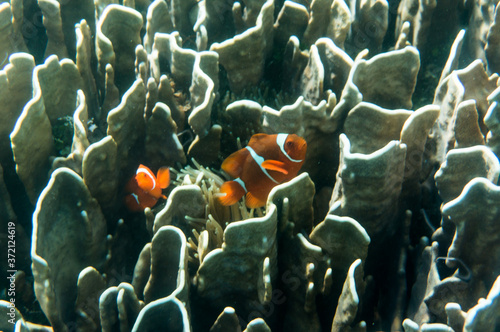 Fotomural clown fish and coral reef