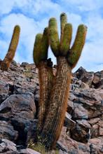Cactus Cardon - Guatin