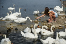 The Girl Feeds Swans And Ducks...