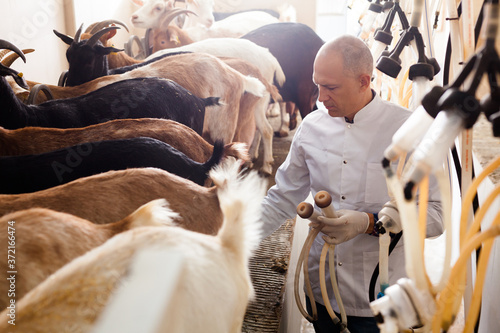 Fotografia Confident farmer in white coat preparing equipments for automatic milking of goa