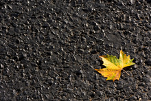 Maple Leaf On The Asphalt Top ...