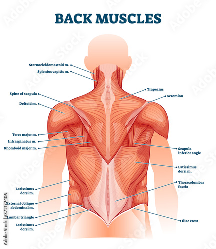 Photographie Back muscles labeled anatomical educational body scheme vector illustration