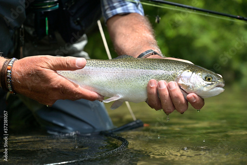 Fotomural beautiful rainbow trout caught by fly by a sport fisherman
