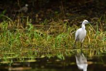 Little Egret (egretta Garzetta) In The Danube Delta, Romania