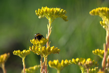 Bumblebee On Flower, Summer, Green, Garden, Flowers, Insect,meadow, Blossom, Beauty, Pollen, Bloom, Flora,fly, Floral,