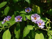 Blue Potato Bush, Purple Flowers