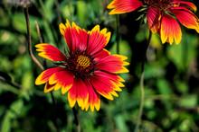Flowers In The Garden.Gaillardia Pulchella. Sunflower Family. Wild Flower Bright Flower. Close-up