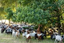 German Moorland Sheep And Goat...