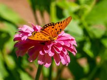 Close-up Of A Gulf Fritillary Butteryfly, Avgraulis Vanillae Nigrior,  On A Flower